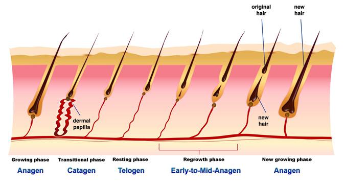 Fases del ciclo capilar
