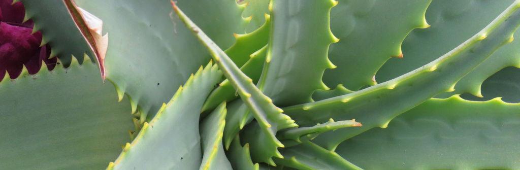 Aloe vera para el cuero cabelludo